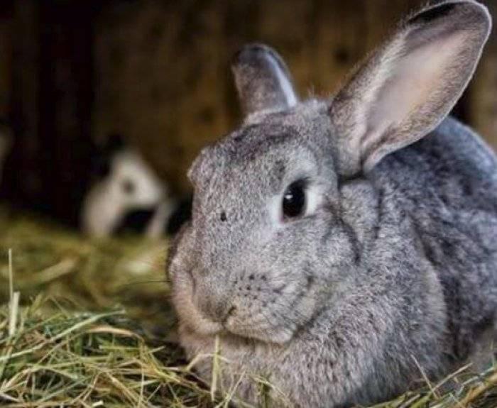 Крольчиха: роды, сколько крольчат рожает за один раз, что делать когда родила