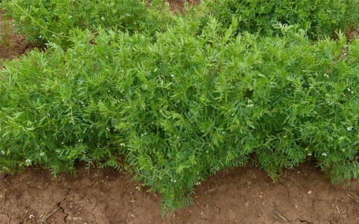 Чечевица – выращивание, свойства, применение