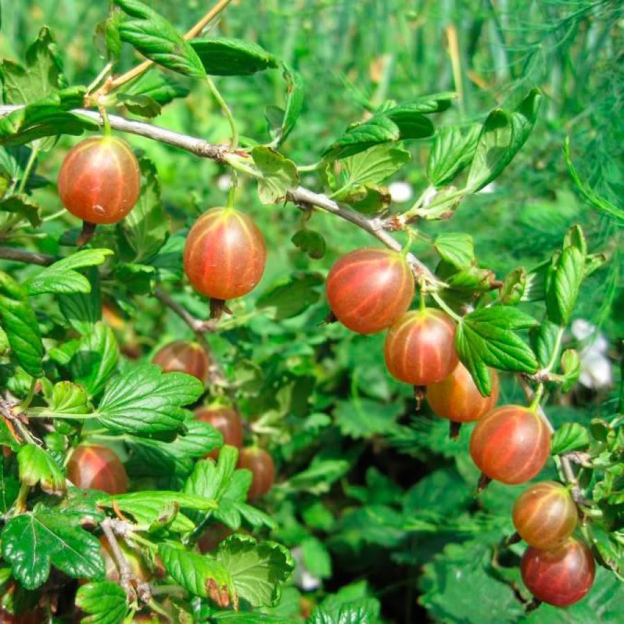 Крыжовник грушенька: описание бесшипного сорта, отзывы садоводов и правила выращивания и ухода