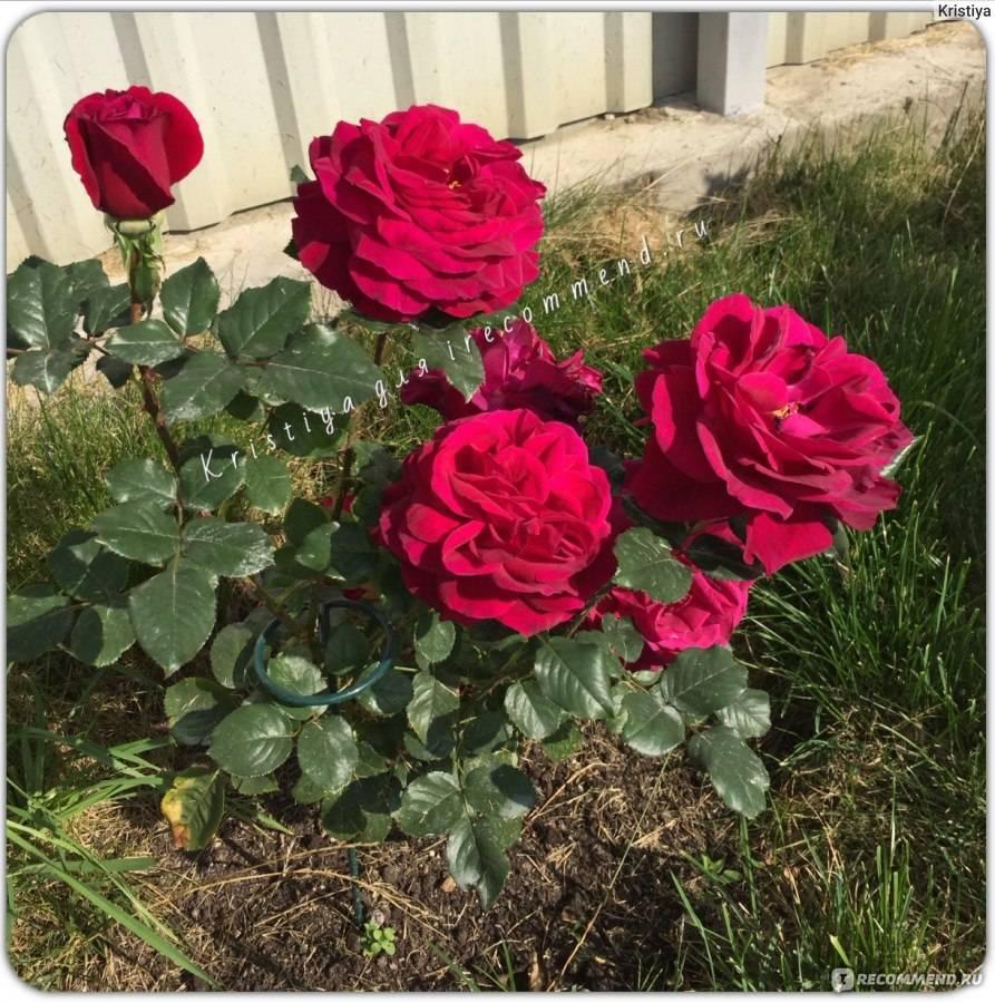 Парковые розы: описание, сорта, посадка и уход