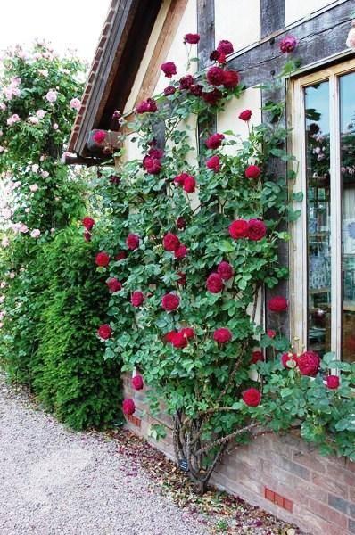 Особенности розы «фальстаф»