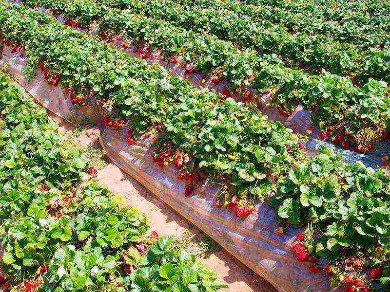 Правила посадки клубники в открытый грунт и под укрывной материал