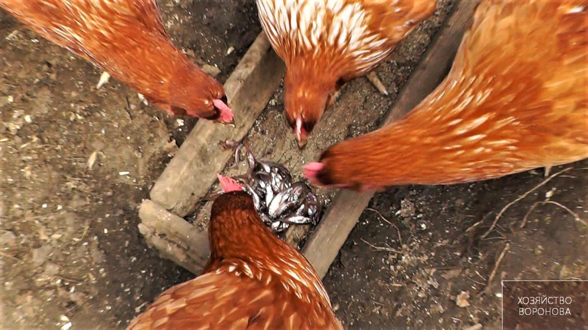 Можно ли курицам давать сырое мясо