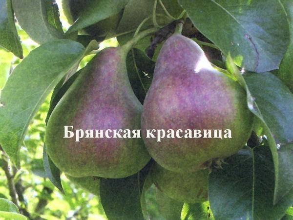 Суздальский питомник - груша - брянская красавица