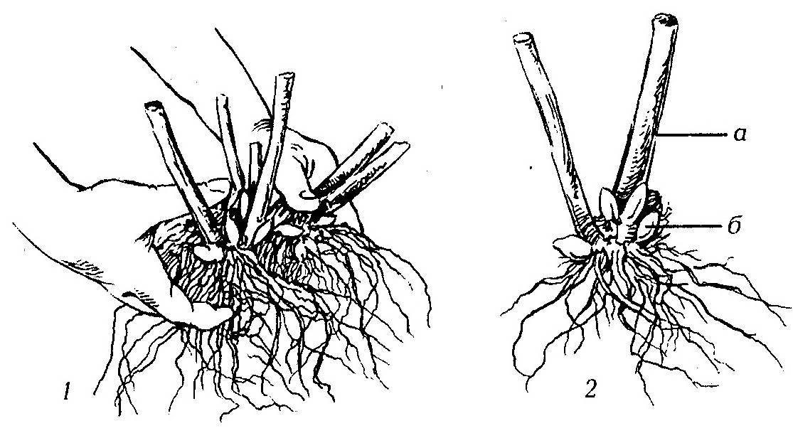 Как размножить флоксы черенками в летний период – описание всех способов