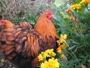Орпингтон: порода кур, описание, фото