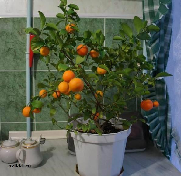 Мандариновое дерево из косточки в домашних условиях - детальная инструкция!