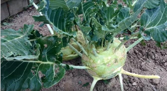 Как вырастить кольраби на даче – попробуйте «космическую капусту»!