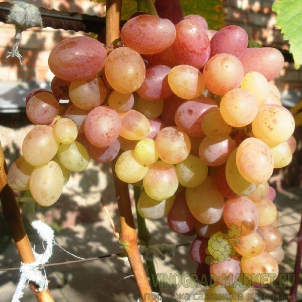 Описание и характеристики сорта винограда тасон, посадка и особенности выращивания
