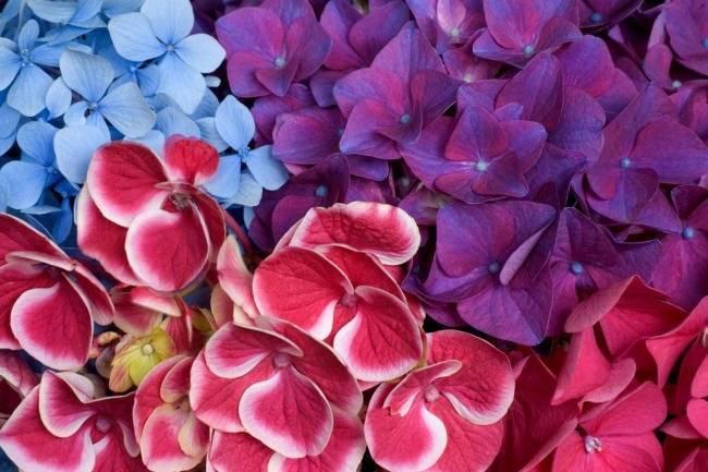 Причины, почему не цветёт гортензия, а даёт только листву
