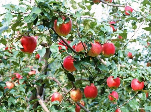 Инструкция, как правильно посадить яблоню весной