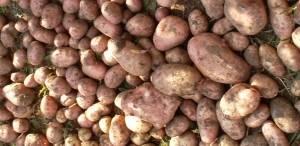 Вкусный и урожайный картофель «луговской»: описание сорта и фото
