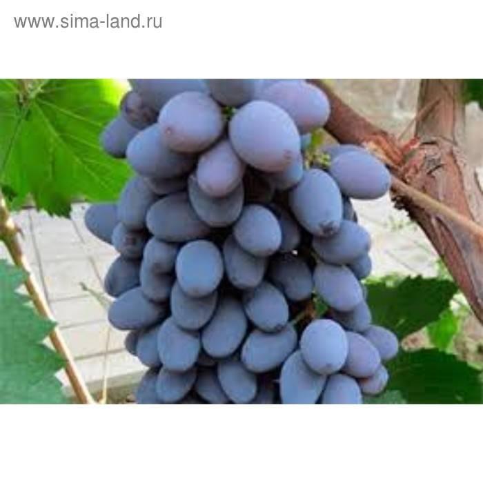 Виноград кишмиш юпитер: описание сорта - подробная информация!