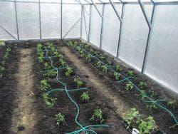 Перец в теплице: посадка, выращивание, а также как правильно поливать и ухаживать?