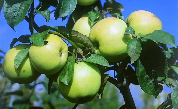 Зимние сорта яблок