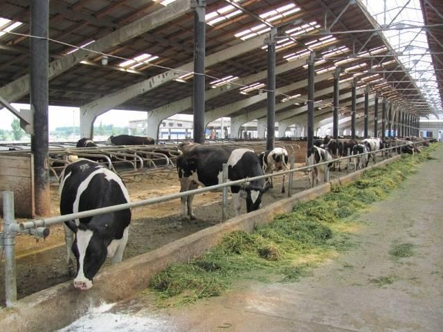 Топ-20 крупнейших животноводческих хозяйств россии по поголовью крупного рогатого скота по итогам 2019 года