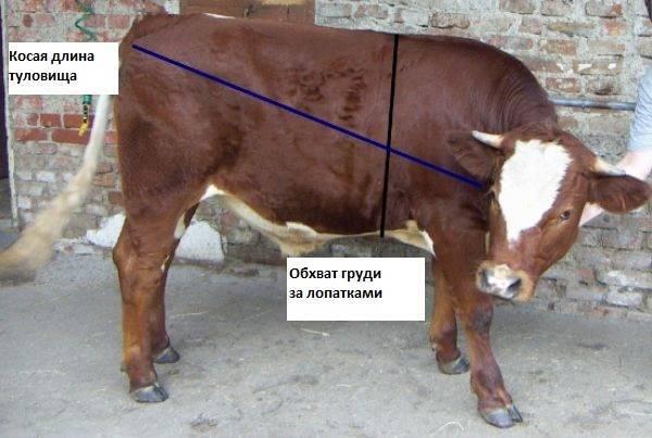 Как узнать вес быка без весов?