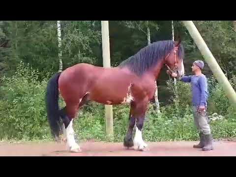 Советская тяжелоупряжная порода лошадей (советский тяжеловоз)