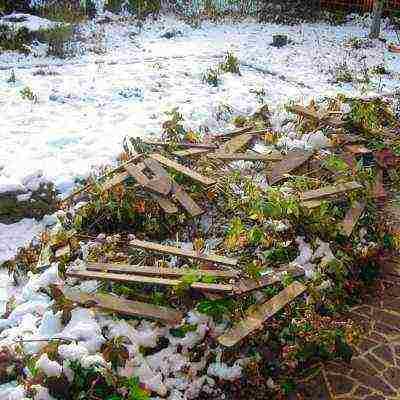 Как укрыть гортензию на зиму: процедура, которую нужно обязательно сделать!