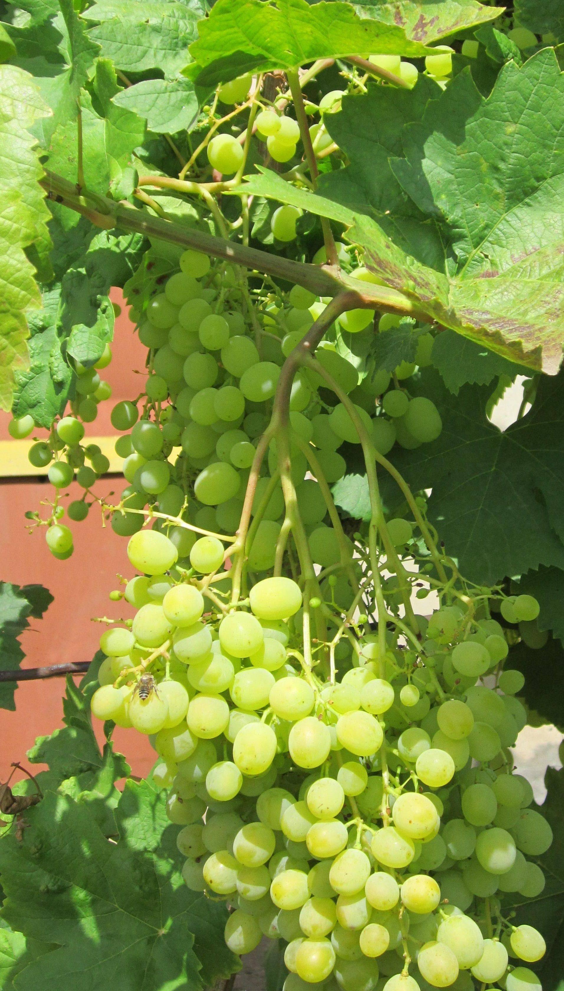 Виноград алешенькин — высокоурожайный столовый сорт, дающий до 25 кг ягод с куста