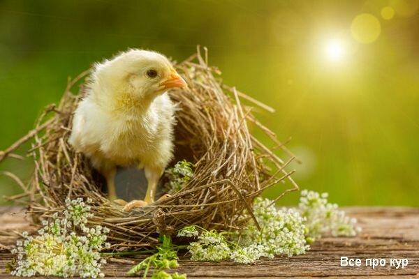 Трава для цыплят: какую траву можно давать, в каком возрасте кормить зеленью