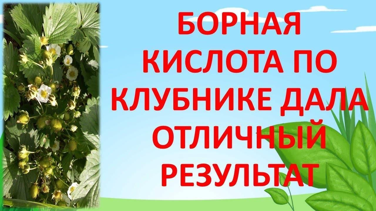 Подкормка клубники весной йодом и борной кислотой - лучшее удобрение для увеличения урожая