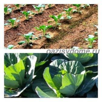 Как правильно и часто поливать капусту в открытом грунте