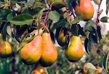 Сорта груш: описание, характеристики, особенности и варианты выращивания различных сортов груш (105 фото)
