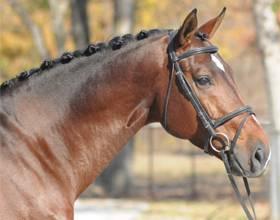 Ганноверская лошадь (26 фото): характеристика породы ганноверов, правила разведения коней. их рост в холке