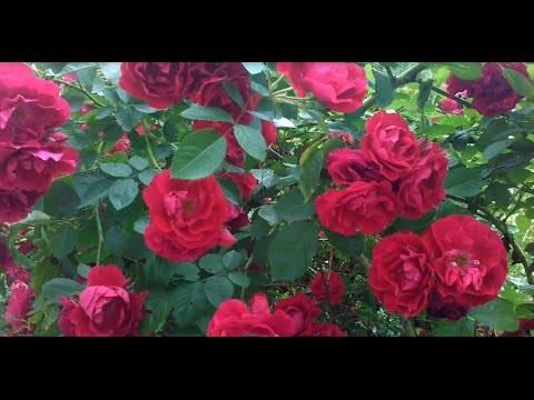 Характеристика популярных сортов роз, не требующих укрытия на зиму: парковые, спрей и другие виды