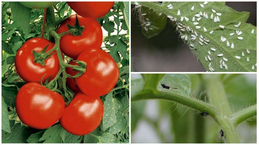 Белые мошки на помидорах в теплице, как бороться. признаки заражения