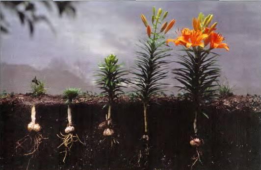 Лилии – посадка осенью в открытый грунт, как и когда сажать лилии под зиму; подготовка лилий к зимовке