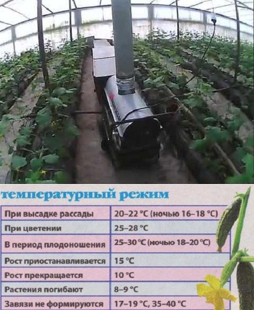 Как правильно выращивать огурцы в парнике