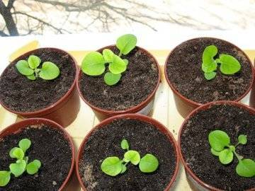 Когда садить петунию на рассаду в сибири и как ее правильно вырастить?