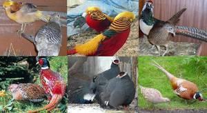 Охотничий фазан (17 фото): описание и особенности разведения. сколько в среднем весит охотничий фазан?