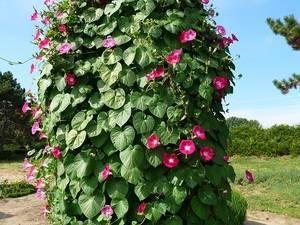 Как выглядят вьюны: описание многолетних вьющихся цветов для сада