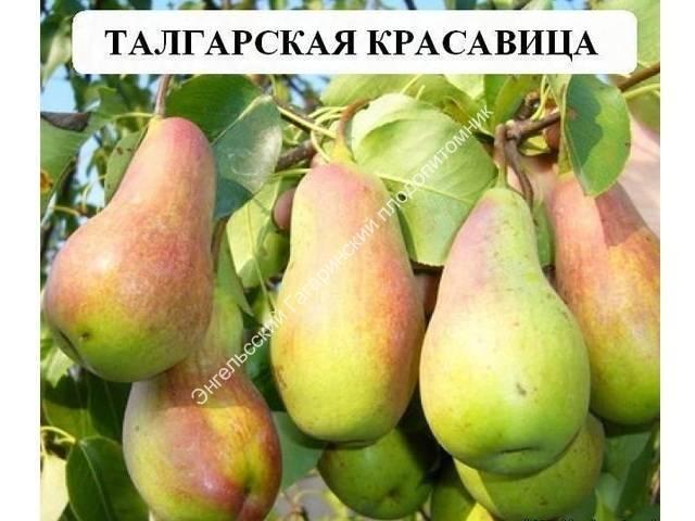 Особенности посадки и ухода за грушей сорта талгарская красавица