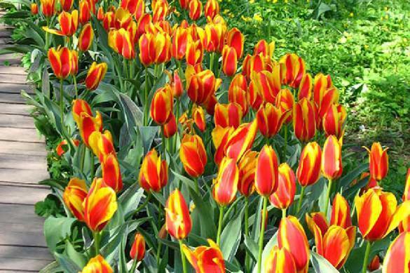 Когда сажать тюльпаны осенью? время посадки тюльпанов осенью