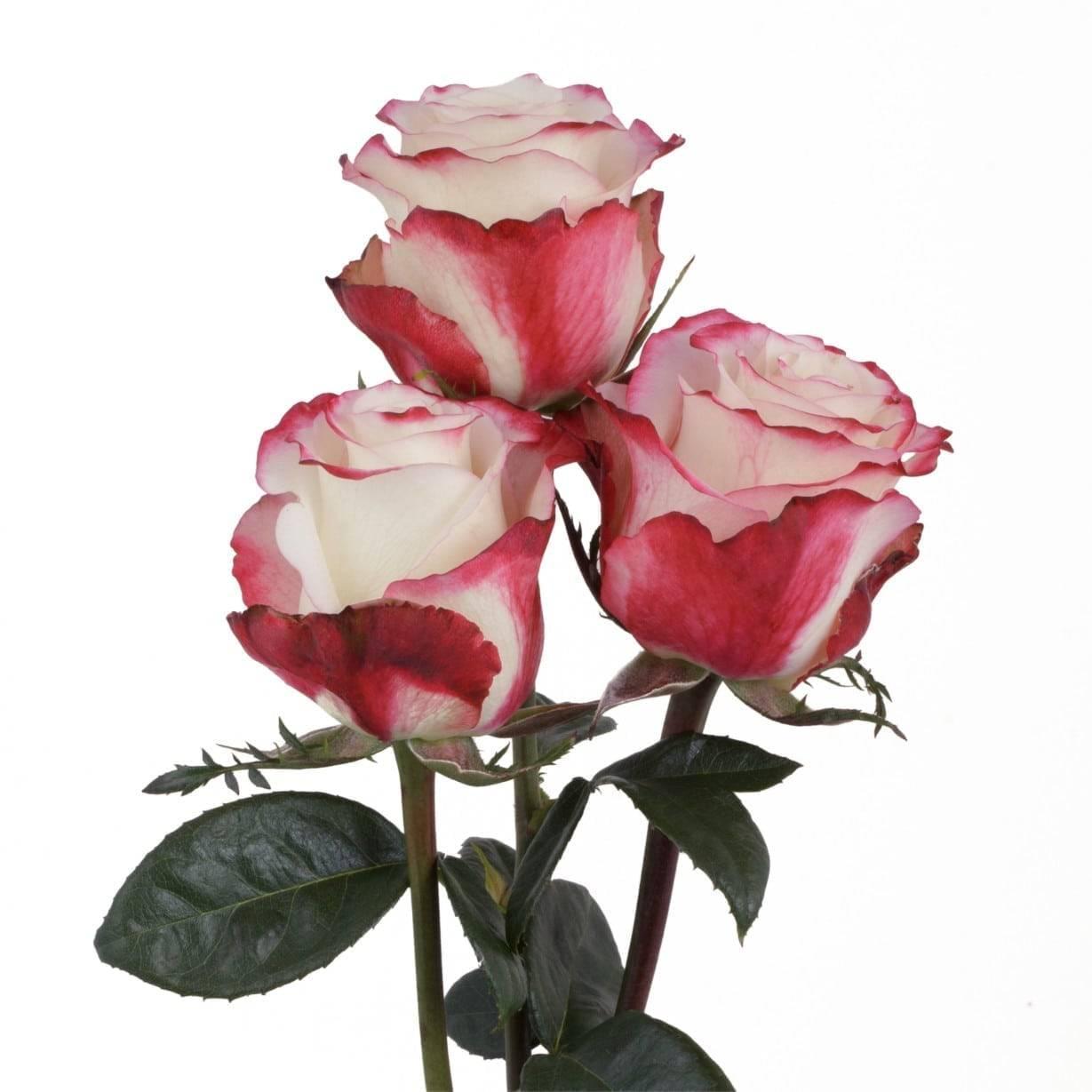 Роза «свитнесс»: характеристика, советы по выращиванию