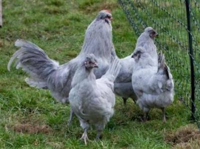 Суссекс: порода кур, внешний вид, содержание и уход