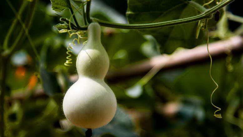 Выращивание тыквы уход