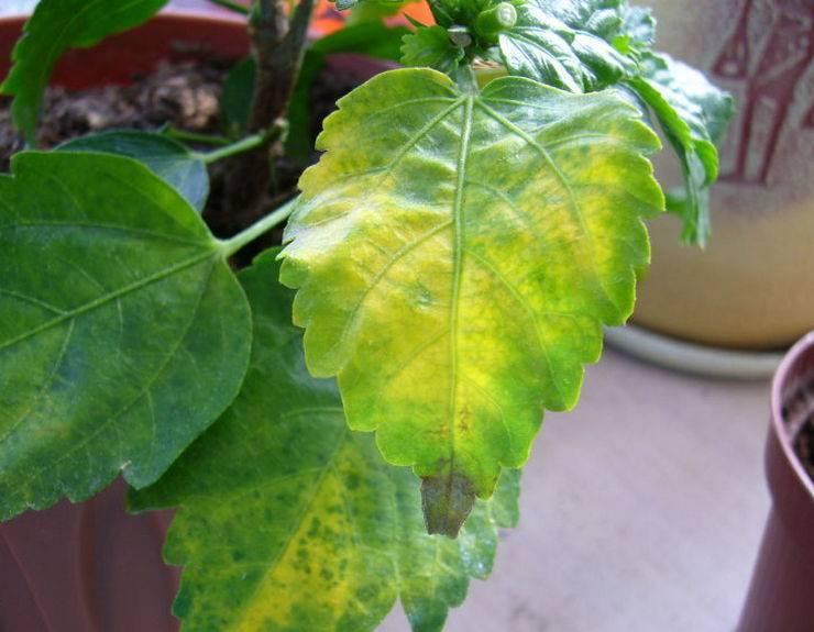 Китайская роза: листья желтеют и опадают бутоны, причина и что делать