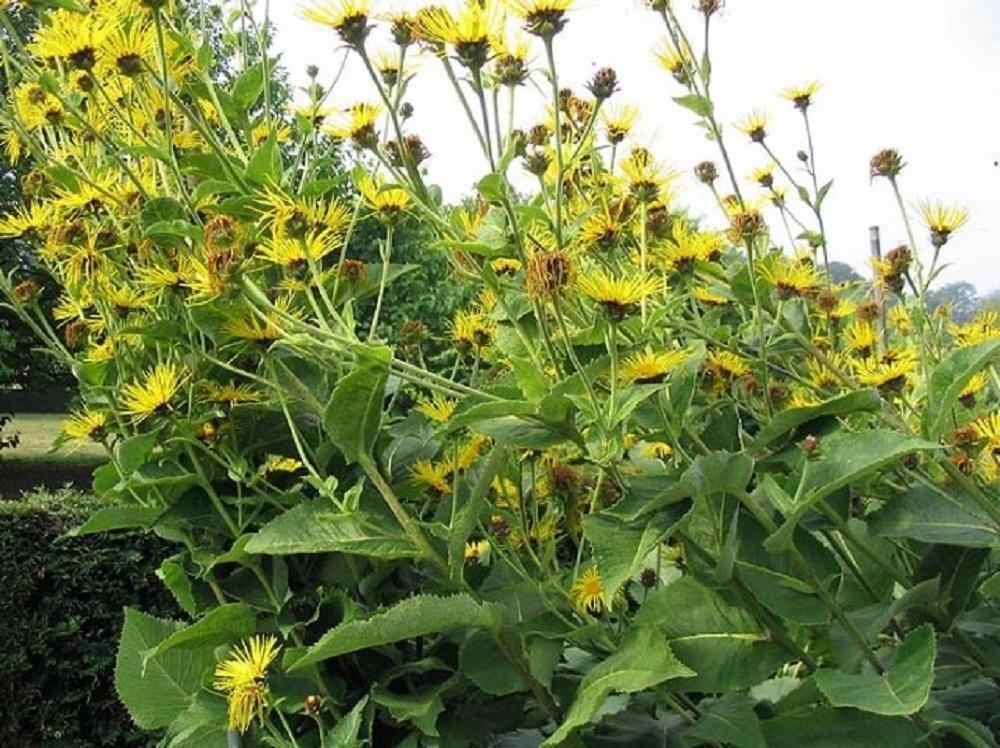 девясил фото растения полезные свойства требовательна, способна противостоять