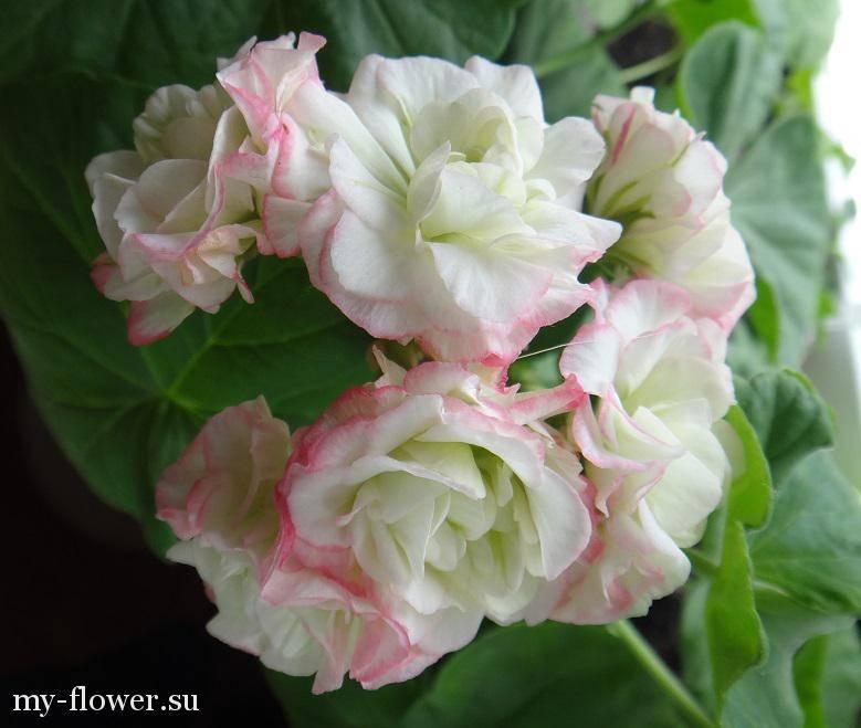 Пеларгония fischers appleblossom описание