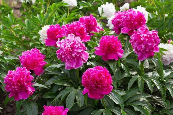 Почему не цветут пионы: что делать, когда зацветут?