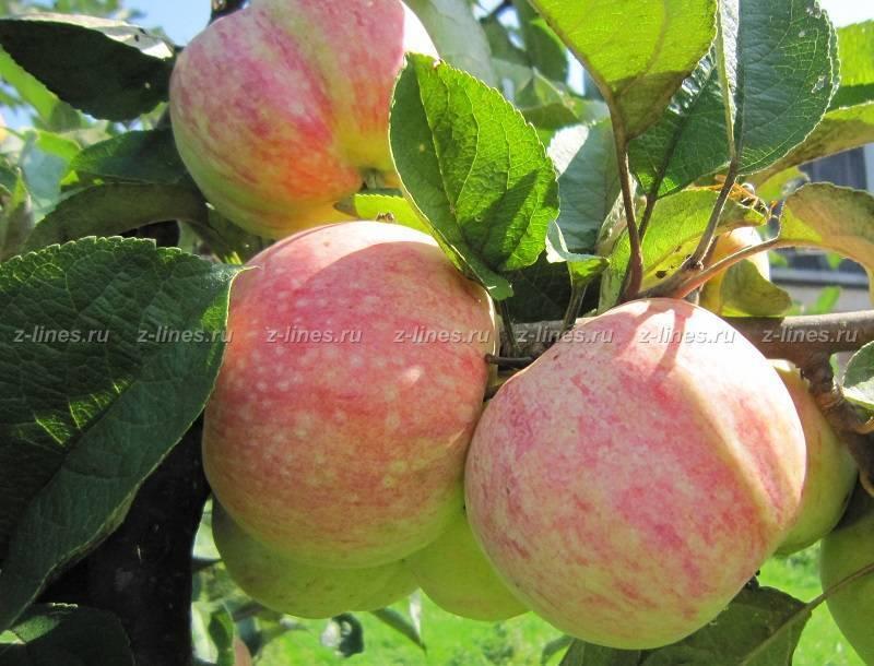 Описание яблони вишневое