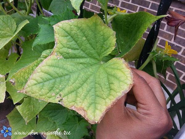 Огурцы: желтеют листья – что делать, народные средства, рецепты
