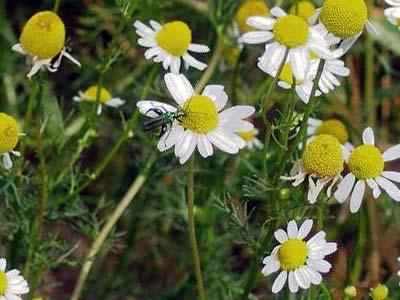 В какое время нужно собирать ромашку. состав и целебные свойства растения