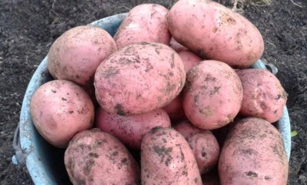 Картофель сорт лаура отзывы