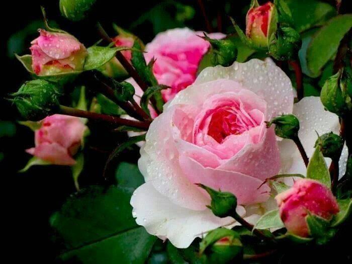 Чайная роза - важные правила выращивания в саду